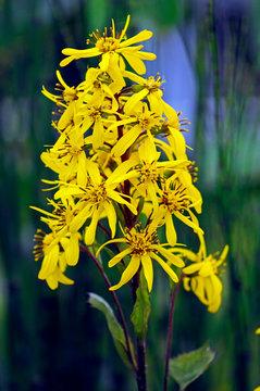 Close up of flowering Ligularia 'Little Rocket' in a bog garden