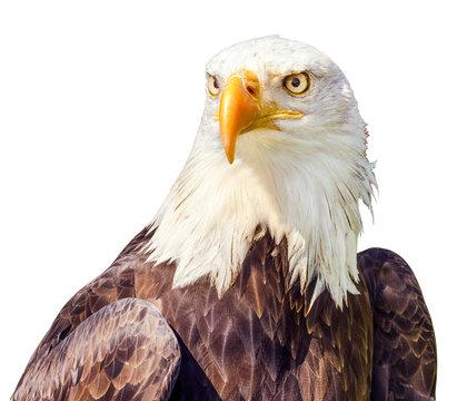 Bald Eagle (Haliaeetus leucocephalus) portrait. Isolated on white Background