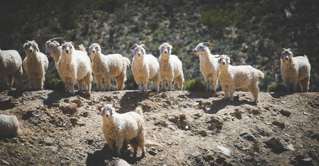 Close up image of Angora goats that supply mohair on a farm in the karoo in south africa
