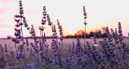 Fotobehang Aubergine lavender flower at sunset near a wheat field