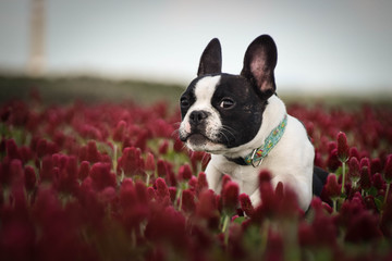 Türaufkleber Französisch bulldog Puppy of french bulldog is running in crimson clover. It was so tall so he must jump.