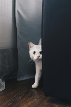Curious white cat walking in curtain