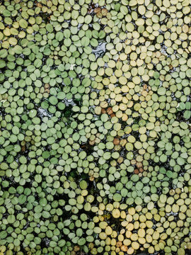 Green lily pads on water surface