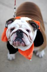 Bulldog dressed up in a costume