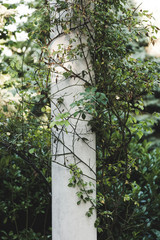 white column in garden wrapped with  rambler roses
