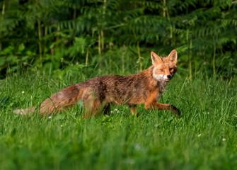 Red Fox in grass