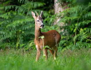 Roe Buck at edge of the woods