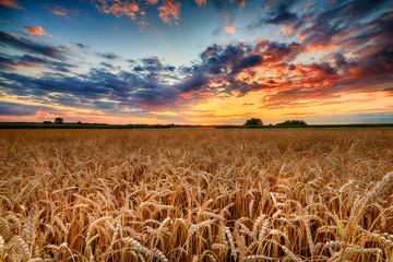 Beautiful summer sunrise over wheat fields Fototapete