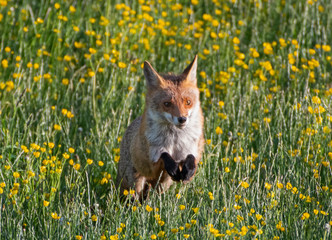 Red Fox jumping in field with flowers
