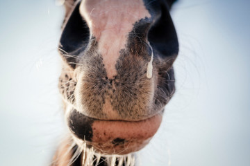 Close up of a horse nose