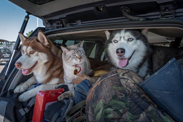 Concept of traveling with pets in the car. Husky dogs and a siamese cat with blue eyes in a luggage-filled car trunk
