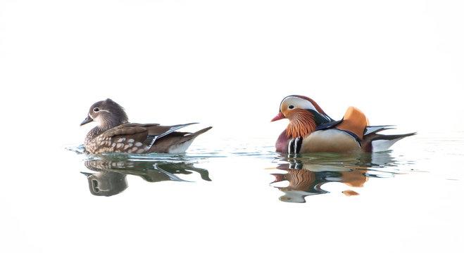 Female and male Mandarin Ducks swimming
