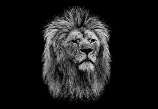 Black and white head of a lion