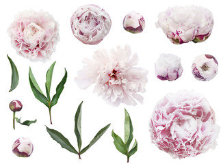 Isolated peony flowers photo
