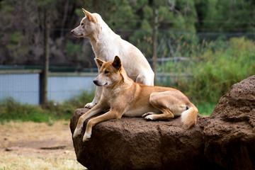 Dingos in a wildlife park on Philips Island, Victoria Australia