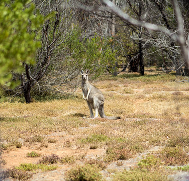 wild grey Kangaroo from a mob near the You Yangs in Victoria, Australia.