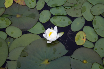 A single lily pad flower in bloom.