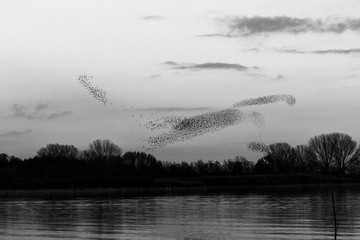 Flock of birds making a beautiful shape in the sky above some trees o a lake shore