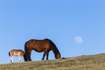 Two horses grazing on a field with the moon coming up behind a mountain