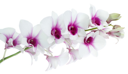 Poster Orchidee White orchid isolated on white