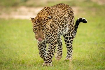 Male leopard walks across grass licking nose Wall mural
