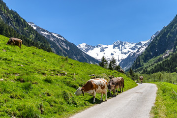 Wall Mural - Cows grazing - alpine mountain landscape