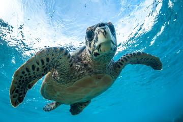 Foto op Canvas Schildpad Green sea turtle