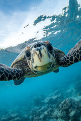 Photo sur cadre textile Tortue Green sea turtle