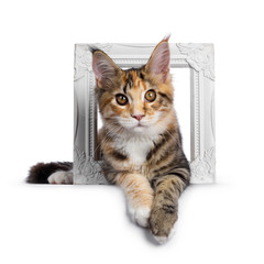 Wall Mural - Warm toned cute torbie Maine Coon cat kitten,  laying through photo frame. Looking straight at camera with orange / golden eyes. Isolated on white background.