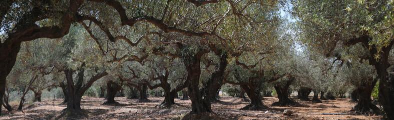 Foto op Aluminium Olijfboom Olivenbaum (Olea europaea) Plantage Insel Kreta Griechenland Panorama nd, Panorama