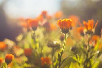 Marigold - beautiful orange flowers, in the garden, close up view, bright sunny day, blurred background