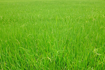 Young green rice in the rice fields background.