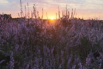Wunderschöner Sonnenuntergang in der blühenden Lüneburger Heide
