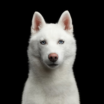 Portrait of White Siberian Husky Dog with blue eyes on Isolated Black Background, Front view