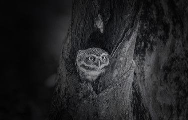Owl, Spotted owlet (Athene brama) in tree hollow,( black and white picture )