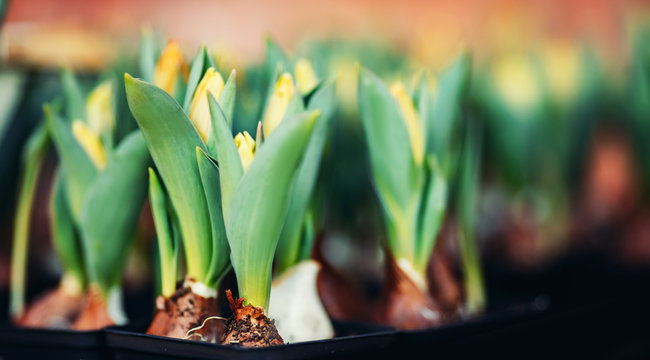 Tulip bulbs sprouted in wooden box flower shop