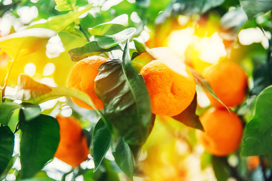 Fresh ripe oranges grow on tree farm. Agriculture citrus fruit concept of Spain and Italy