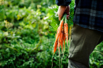 Bunch of freshly picked homegrown organic carrot in men's farmer hand on a vegetable garden close-up with copy space.Rustic style.Healthy food concept.Horizontal orientation