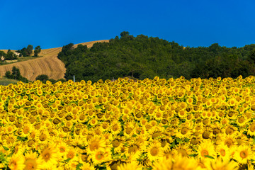 Cultivated field with sunflowers in the hills of Marche region (center Italy)