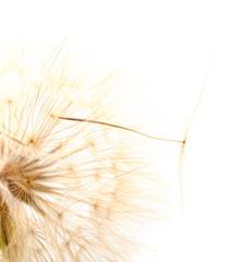 Dandelion head isolated.