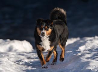 Appenzeller Sennenhund in the snow