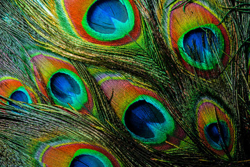 Photo sur Toile Les Textures Colorful and Iridescent Peacock Feathers