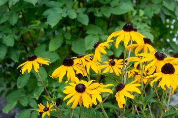 black-eyed susans in flower bed in summer garden
