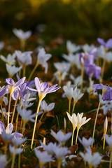Poster Krokussen Flower garden with crocus pulchellus zephyr
