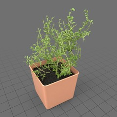Thyme growing in planter