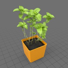 Mint growing in planter