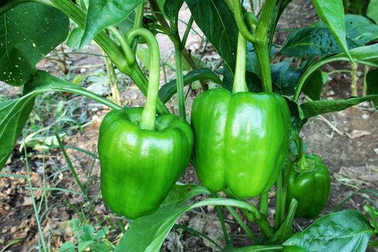 green pepper or bell pepper on plant growing in garden,ready to harvest