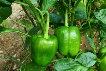 green pepper or bell pepper on plant growing in garden,ready to harvest  Wall mural