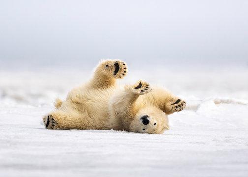Polar Bear cleaning his coat in Kaktovik Alaska