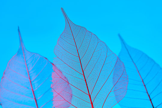 Close-up of a tender transparent leaves with a natural pattern of veins on a blue background with copy space.
